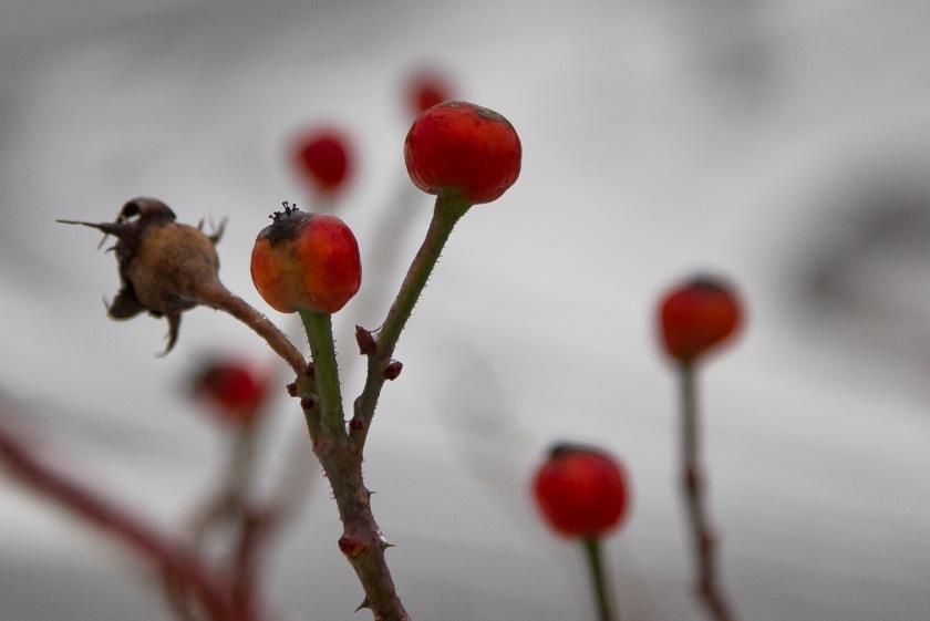 berriesandsnow-1